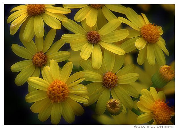 Fotografije cvijeća - Page 15 04040120_yellows
